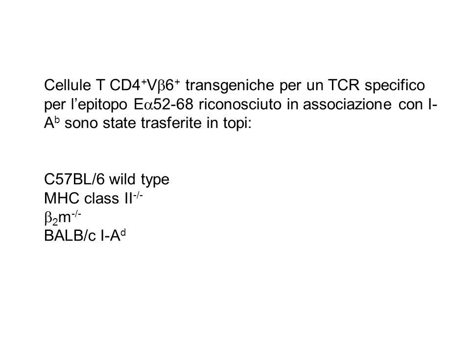 Cellule T CD4 + V 6 + transgeniche per un TCR specifico per lepitopo E 52-68 riconosciuto in associazione con I- A b sono state trasferite in topi: C5