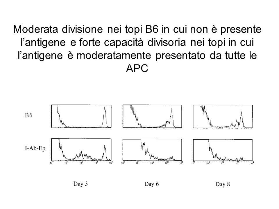 Moderata divisione nei topi B6 in cui non è presente lantigene e forte capacità divisoria nei topi in cui lantigene è moderatamente presentato da tutt