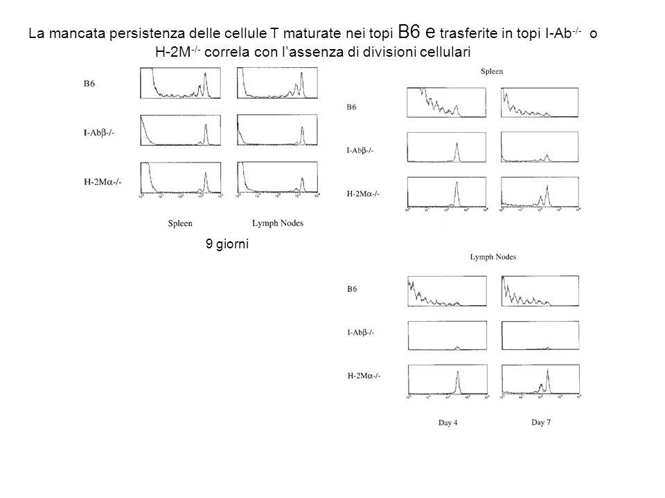 La mancata persistenza delle cellule T maturate nei topi B6 e trasferite in topi I-Ab -/- o H-2M -/- correla con lassenza di divisioni cellulari 9 gio