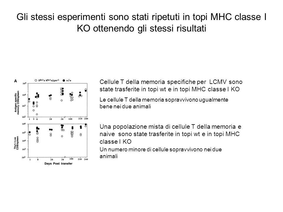 Cellule T della memoria specifiche per LCMV sono state trasferite in topi wt e in topi MHC classe I KO Una popolazione mista di cellule T della memori