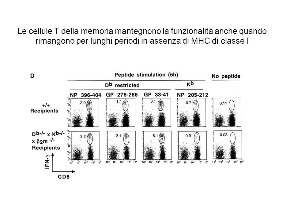 Le cellule T della memoria mantegnono la funzionalità anche quando rimangono per lunghi periodi in assenza di MHC di classe I