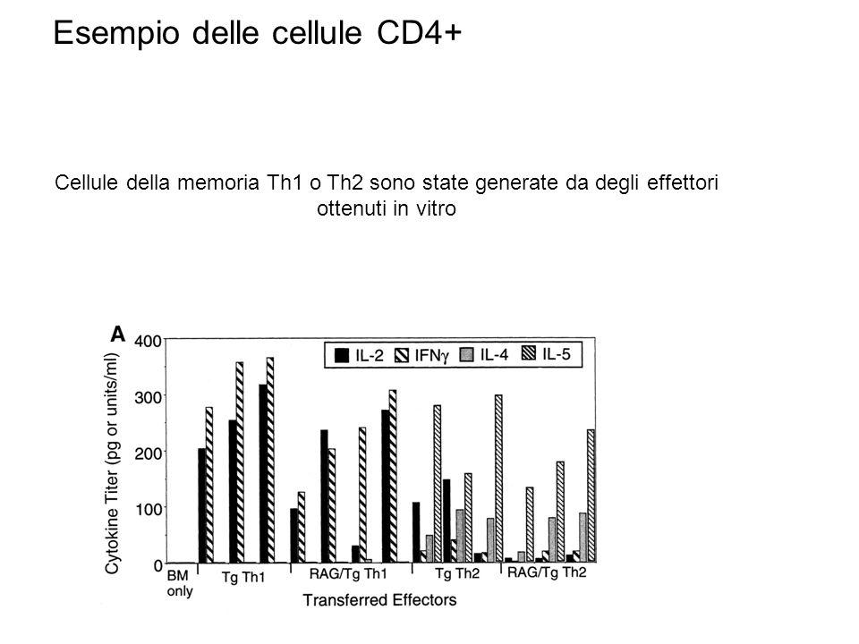 Esempio delle cellule CD4+ Cellule della memoria Th1 o Th2 sono state generate da degli effettori ottenuti in vitro