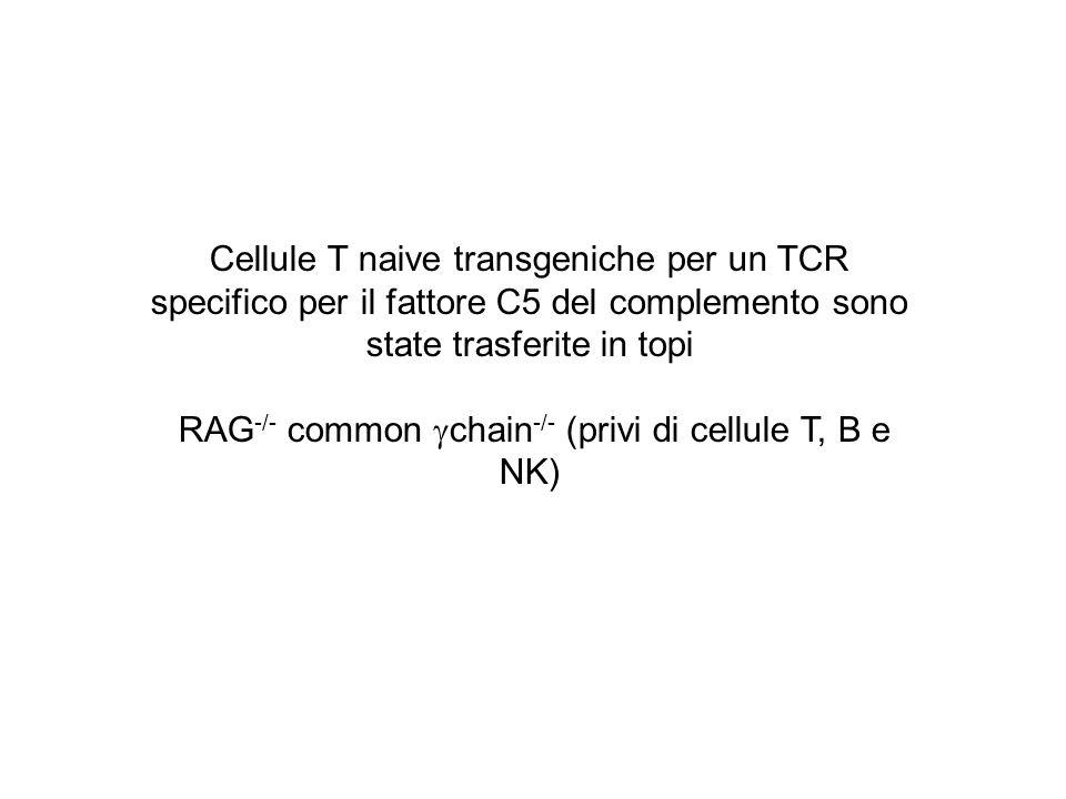 Cellule T naive transgeniche per un TCR specifico per il fattore C5 del complemento sono state trasferite in topi RAG -/- common chain -/- (privi di c