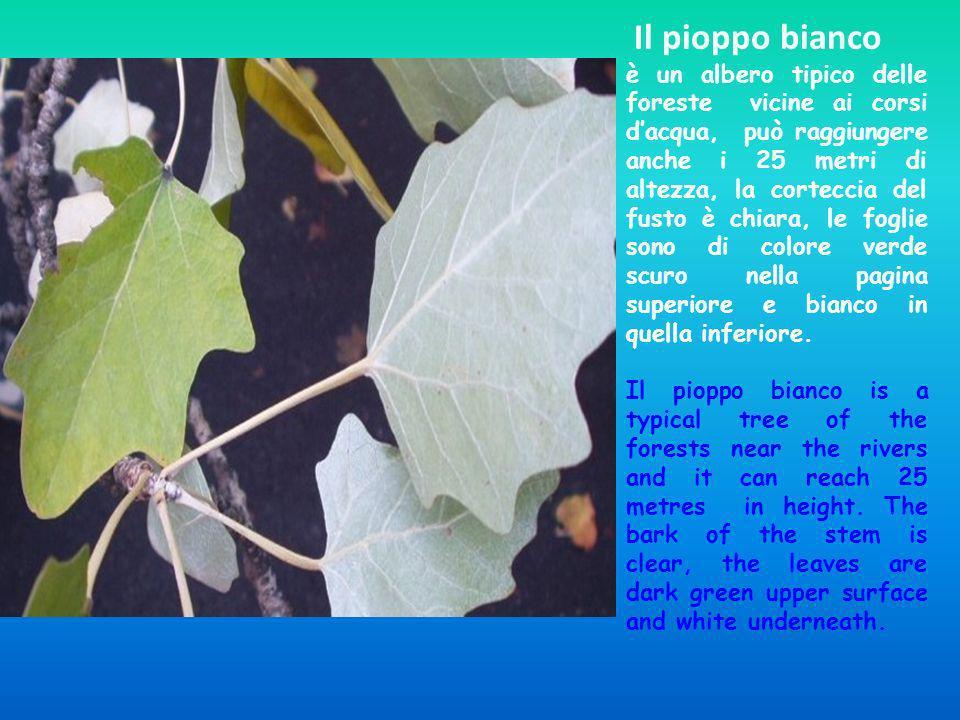 Il pioppo bianco è un albero tipico delle foreste vicine ai corsi dacqua, può raggiungere anche i 25 metri di altezza, la corteccia del fusto è chiara