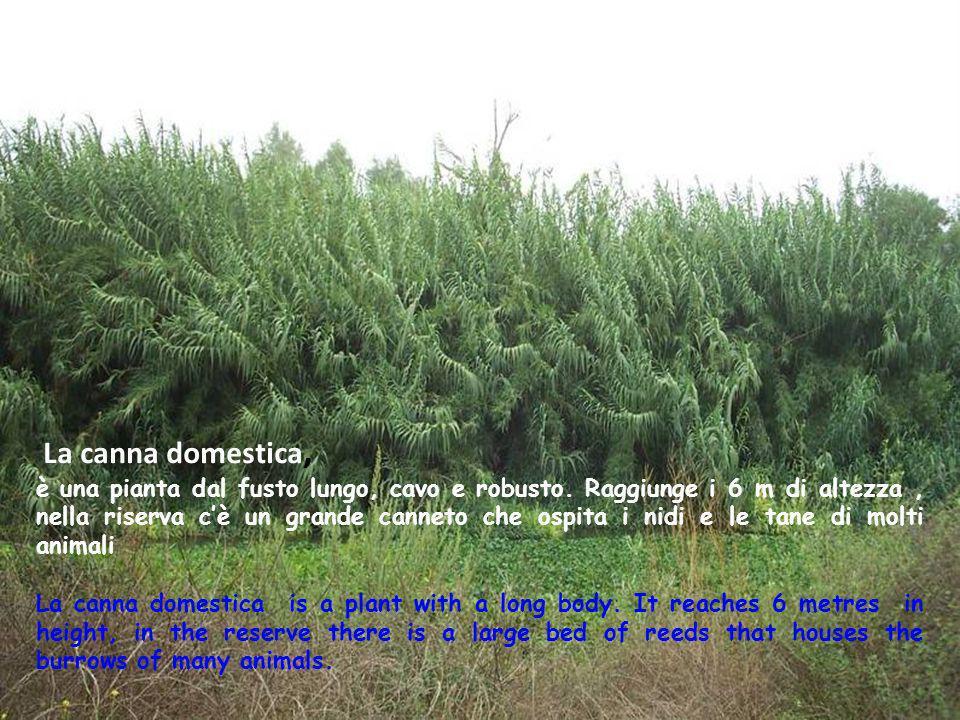 La canna domestica, è una pianta dal fusto lungo, cavo e robusto. Raggiunge i 6 m di altezza, nella riserva cè un grande canneto che ospita i nidi e l