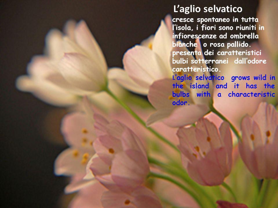 Laglio selvatico cresce spontaneo in tutta lisola, i fiori sono riuniti in infiorescenze ad ombrella bianche o rosa pallido. presenta dei caratteristi