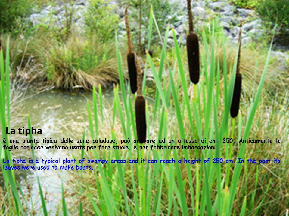 La tipha è una pianta tipica delle zone paludose, può arrivare ad un altezza di cm. 250. Anticamente le foglie coriacee venivano usate per fare stuoie