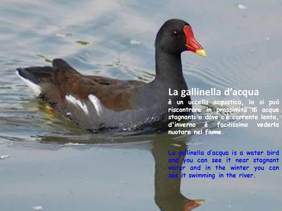 La gallinella dacqua è un uccello acquatico, lo si può riscontrare in prossimità di acque stagnanti o dove cè corrente lenta, d'inverno è facilissimo