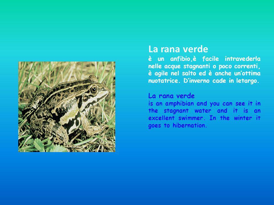 La rana verde è un anfibio,è facile intravederla nelle acque stagnanti o poco correnti, è agile nel salto ed è anche unottima nuotatrice. Dinverno cad