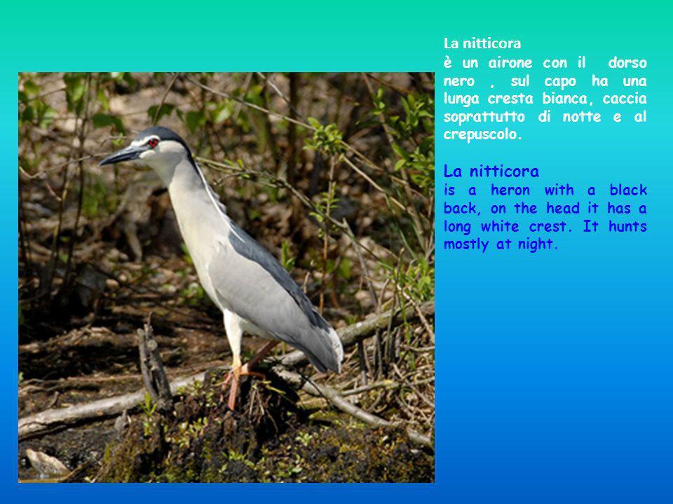 La nitticora è un airone con il dorso nero, sul capo ha una lunga cresta bianca, caccia soprattutto di notte e al crepuscolo. La nitticora is a heron