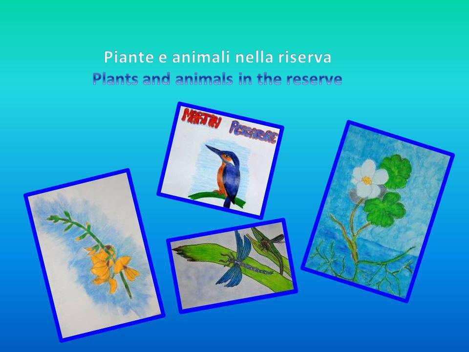Il coltellaccio maggiore è una pianta acquatica, produce lunghi fusti con infiorescenze di colore bianco-verdastro, non teme il freddo, e la si può facilmente vedere lungo il fiume.