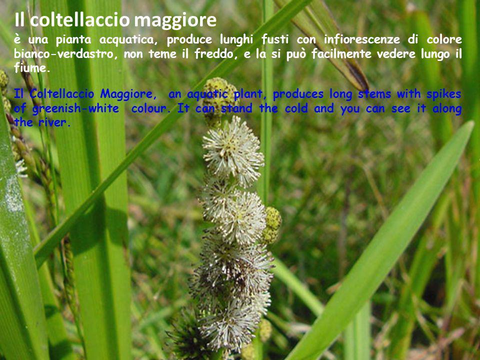 Il coltellaccio maggiore è una pianta acquatica, produce lunghi fusti con infiorescenze di colore bianco-verdastro, non teme il freddo, e la si può fa