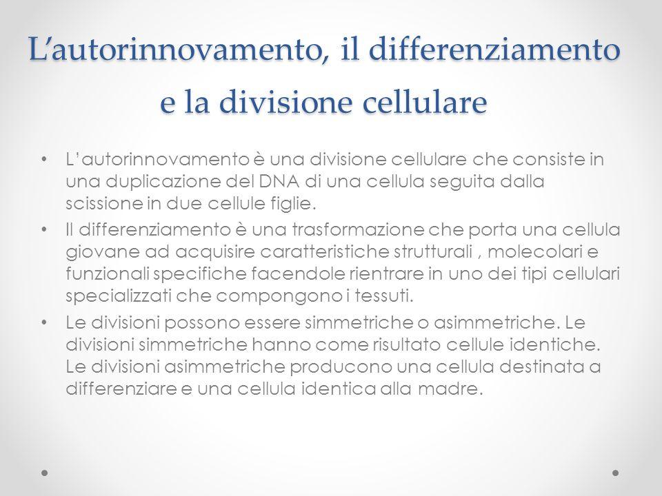 Lautorinnovamento, il differenziamento e la divisione cellulare Lautorinnovamento è una divisione cellulare che consiste in una duplicazione del DNA d