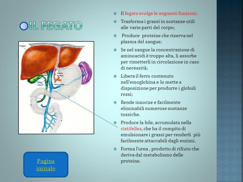 Il fegato svolge le seguenti funzioni: Trasforma i grassi in sostanze utili alle varie parti del corpo; Produce proteine che riserva nel plasma del sa