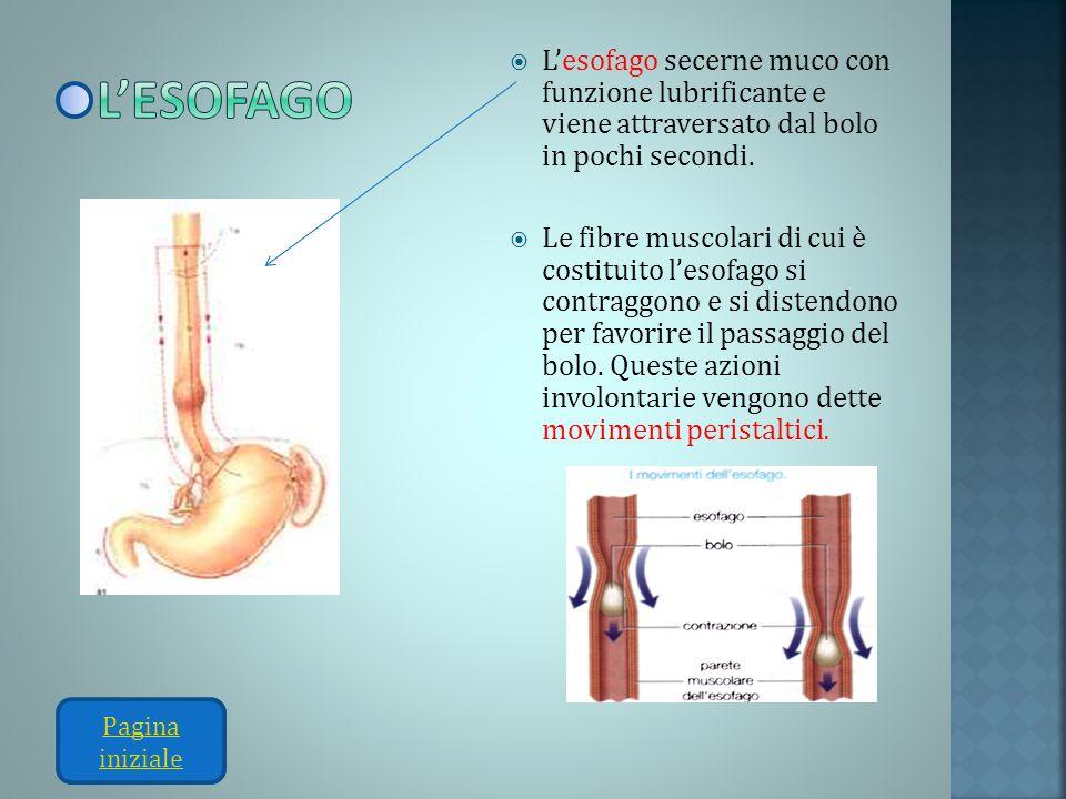 Lesofago secerne muco con funzione lubrificante e viene attraversato dal bolo in pochi secondi. Le fibre muscolari di cui è costituito lesofago si con