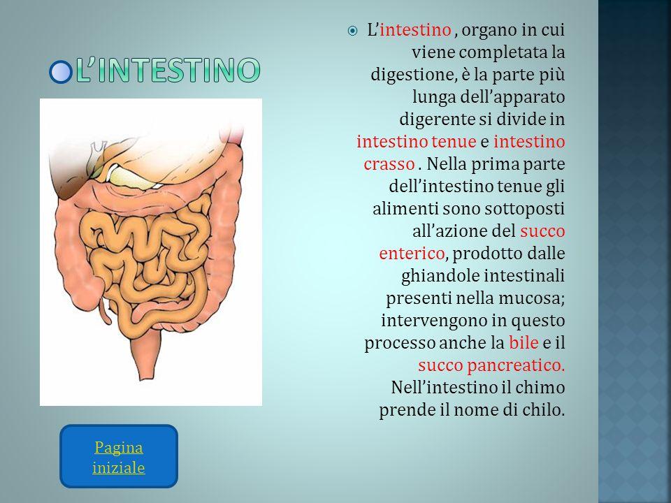 Lintestino, organo in cui viene completata la digestione, è la parte più lunga dellapparato digerente si divide in intestino tenue e intestino crasso.