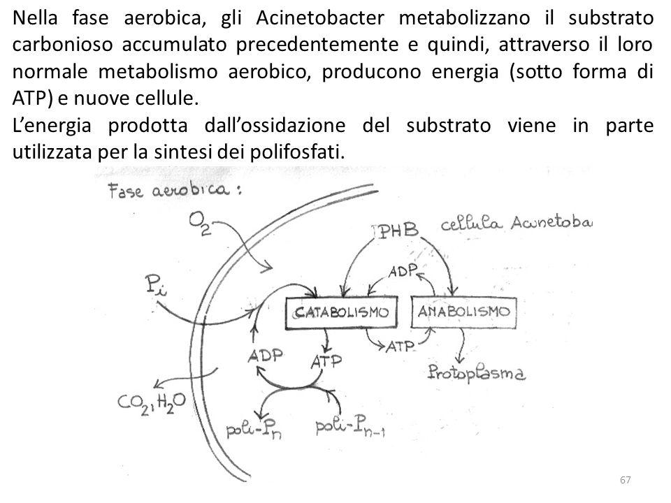 Nella fase aerobica, gli Acinetobacter metabolizzano il substrato carbonioso accumulato precedentemente e quindi, attraverso il loro normale metabolis