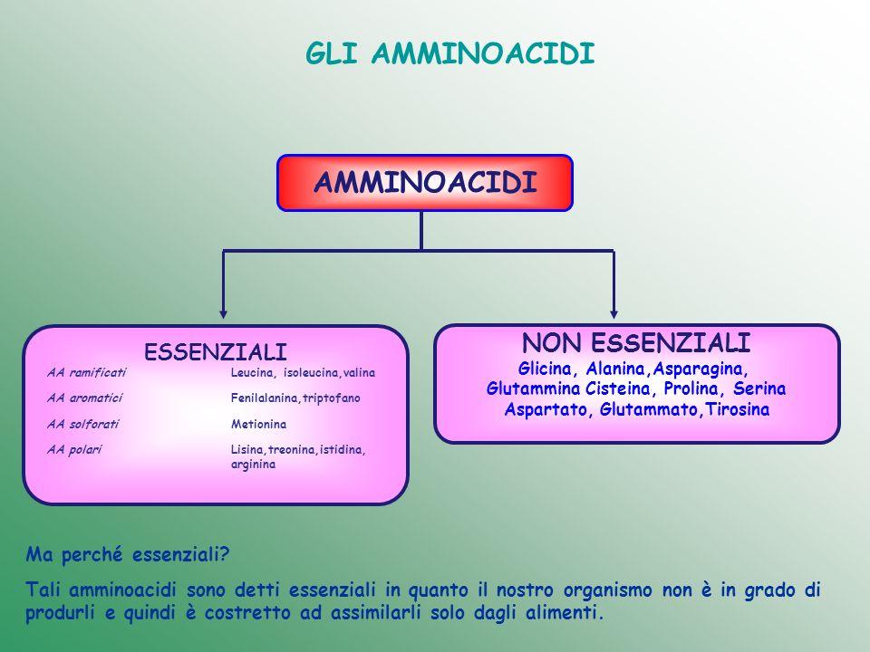 GLI AMMINOACIDI AMMINOACIDI ESSENZIALI NON ESSENZIALI Glicina, Alanina,Asparagina, Glutammina Cisteina, Prolina, Serina Aspartato, Glutammato,Tirosina