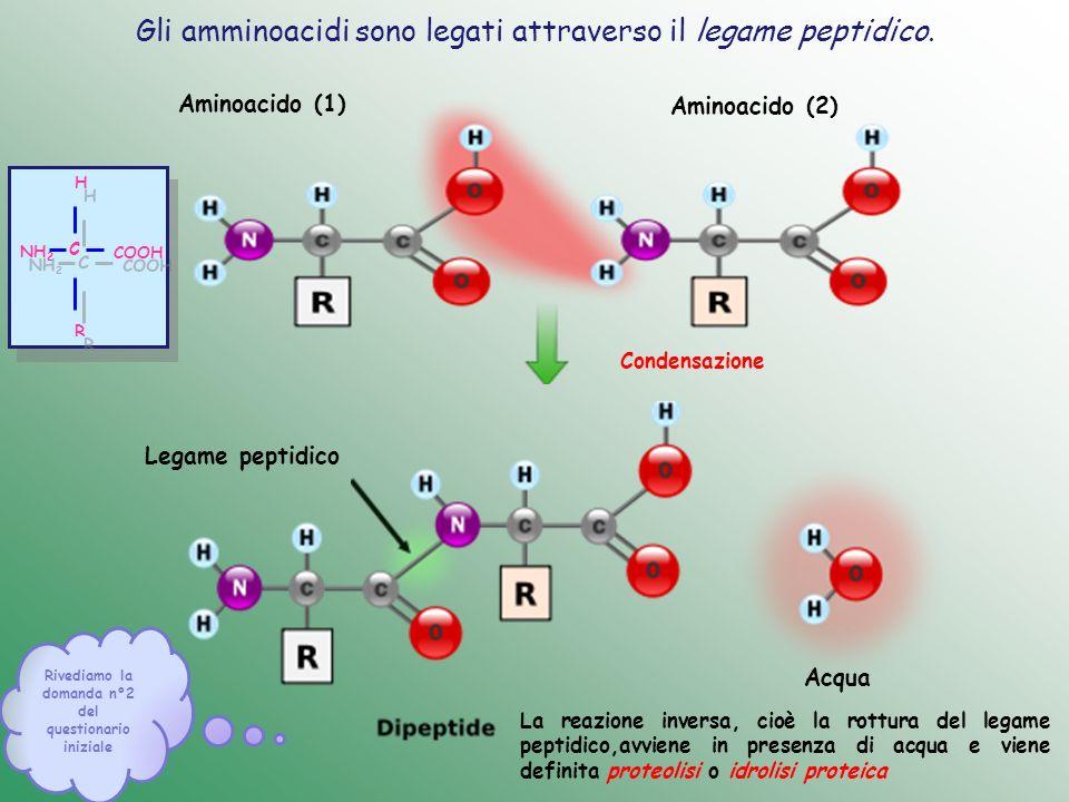 Gli amminoacidi sono legati attraverso il legame peptidico. Rivediamo la domanda n°2 del questionario iniziale Aminoacido (1) Aminoacido (2) Acqua Leg