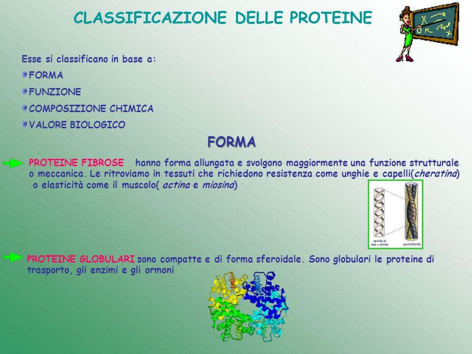 CLASSIFICAZIONE DELLE PROTEINE Esse si classificano in base a: FORMA FUNZIONE COMPOSIZIONE CHIMICA VALORE BIOLOGICO FORMA PROTEINE FIBROSE hanno forma