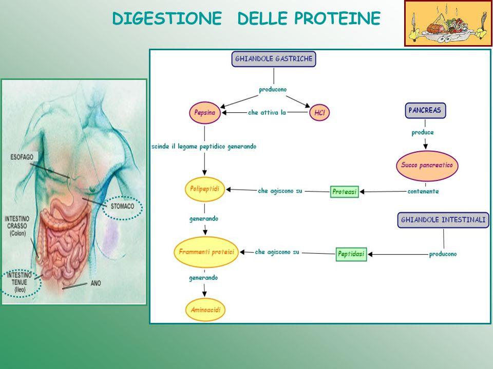 DIGESTIONE DELLE PROTEINE STOMACO Le ghiandole gastriche producono pepsina e acido cloridrico necessario alla sua attivazione, visto che questo enzima