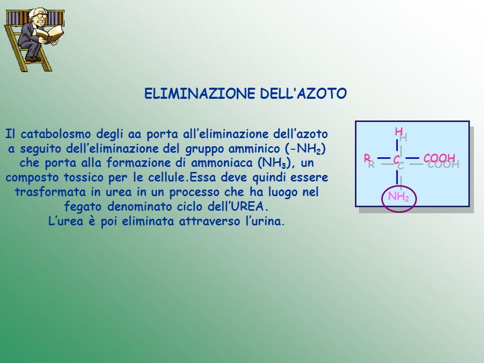ELIMINAZIONE DELLAZOTO Il catabolosmo degli aa porta alleliminazione dellazoto a seguito delleliminazione del gruppo amminico (-NH 2 ) che porta alla