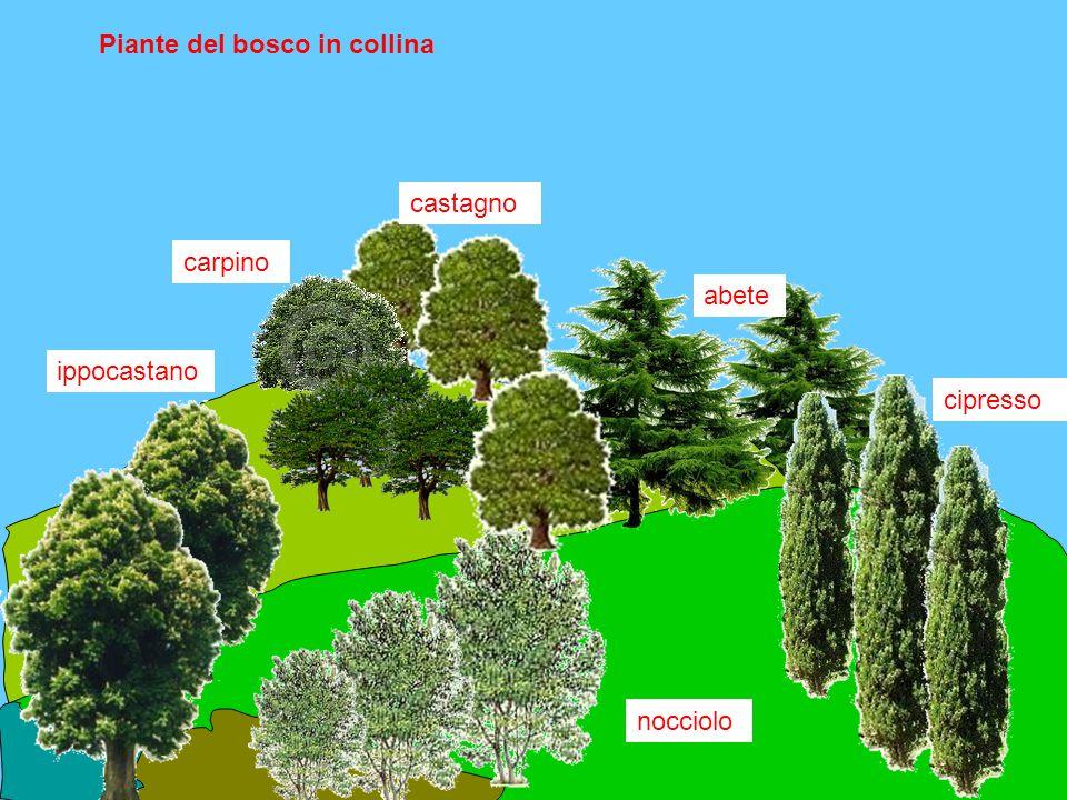 Piante del bosco in collina carpino abete ippocastano cipresso nocciolo castagno