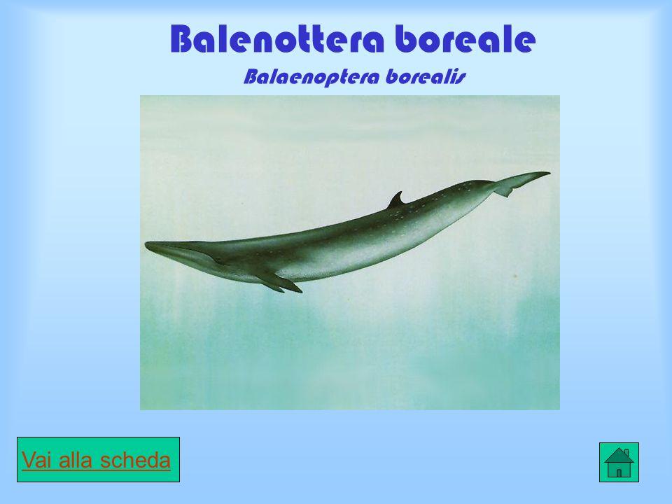 Balena boreale Balaena mysticetus Vai alla scheda