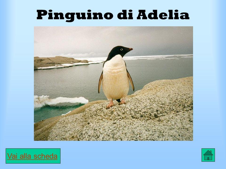 Scheda Albatro urlatore CARATTERISTICHE È il più grande uccello marino.