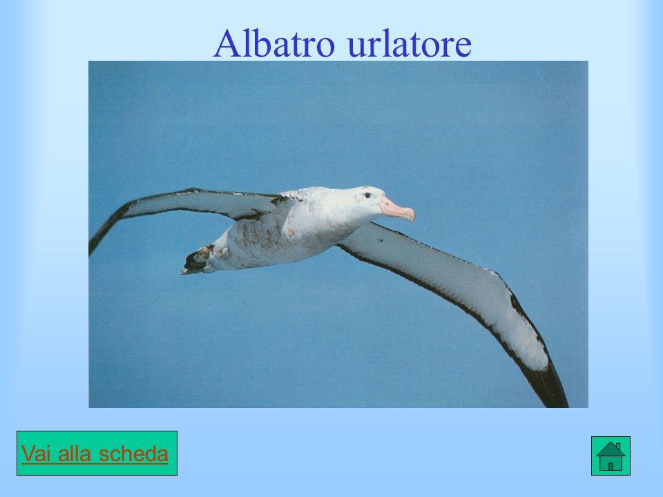 Scheda Stercorario maggiore CARATTERISTICHE È un grosso uccello, dalla forma di un gabbiano e dal piumaggio marrone scuro con strisce bianche sulle ali.
