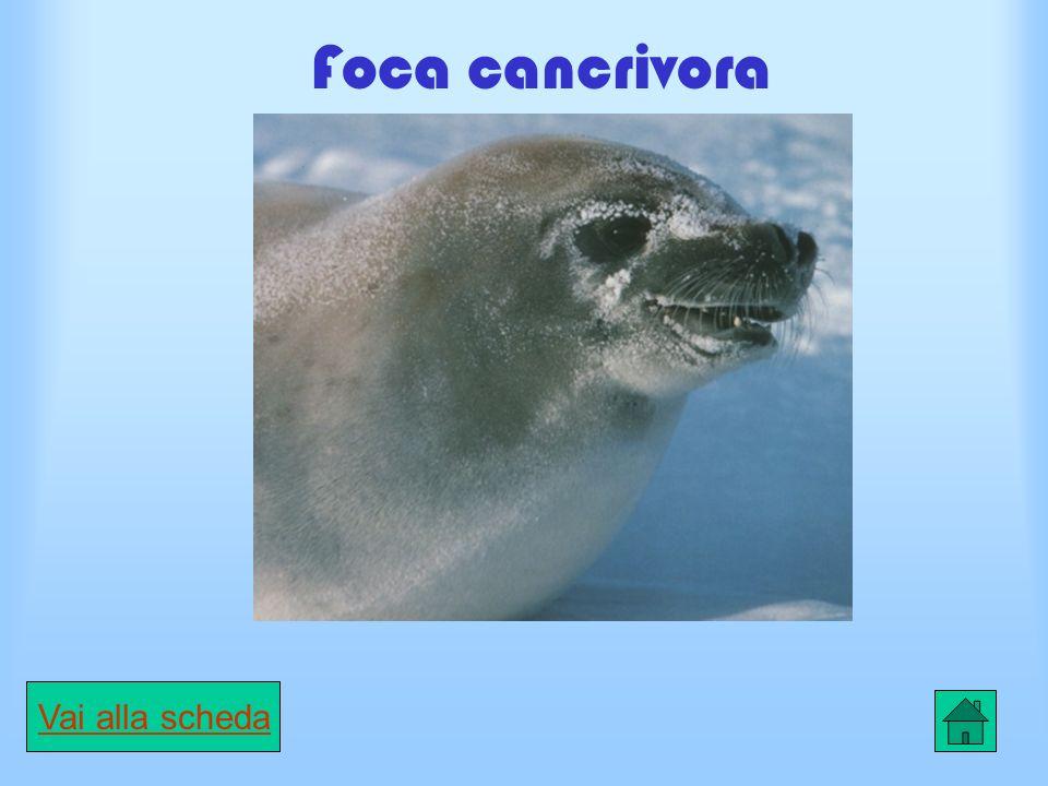Scheda Foca di Weddell CARATTERISTICHE È il mammifero che vive più a sud del circolo polare artico lungo le coste dellAntartide.