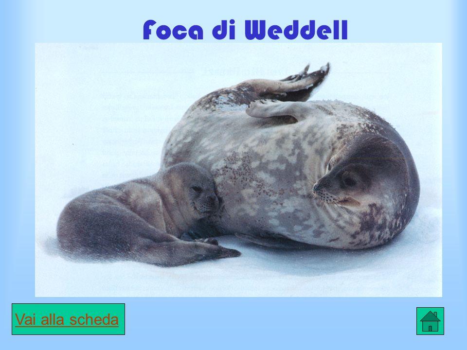Scheda elefante di mare CARATTERISTICHE Esistono due specie di questa foca.