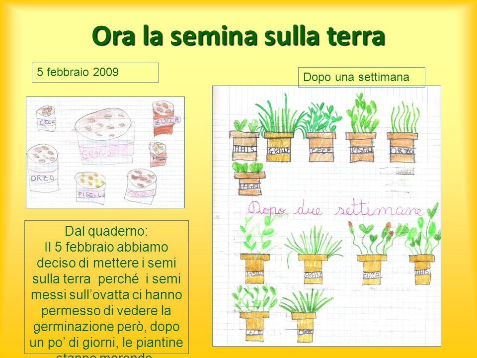 Ora la semina sulla terra Dal quaderno: Il 5 febbraio abbiamo deciso di mettere i semi sulla terra perché i semi messi sullovatta ci hanno permesso di
