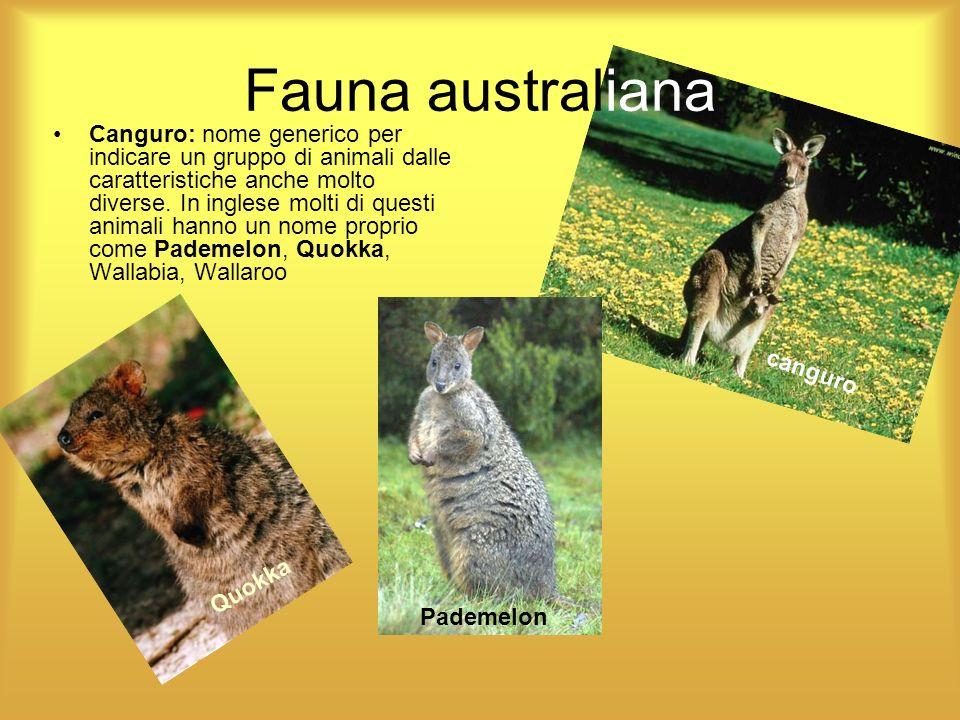 Fauna australiana Canguro: nome generico per indicare un gruppo di animali dalle caratteristiche anche molto diverse. In inglese molti di questi anima