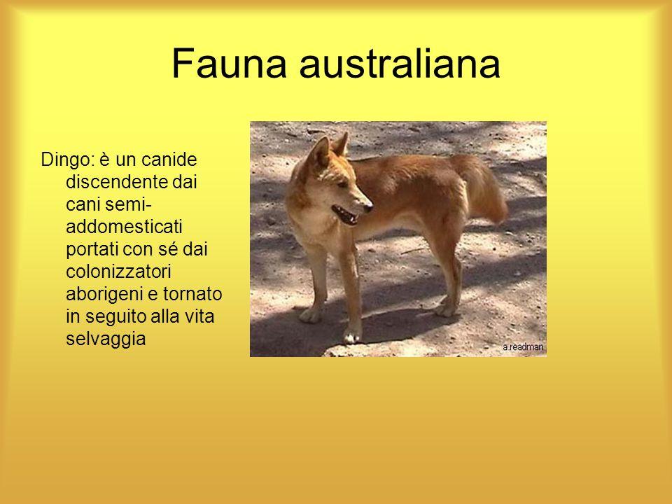 Fauna australiana Dingo: è un canide discendente dai cani semi- addomesticati portati con sé dai colonizzatori aborigeni e tornato in seguito alla vit