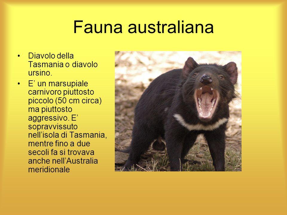 Fauna australiana Diavolo della Tasmania o diavolo ursino. E un marsupiale carnivoro piuttosto piccolo (50 cm circa) ma piuttosto aggressivo. E soprav