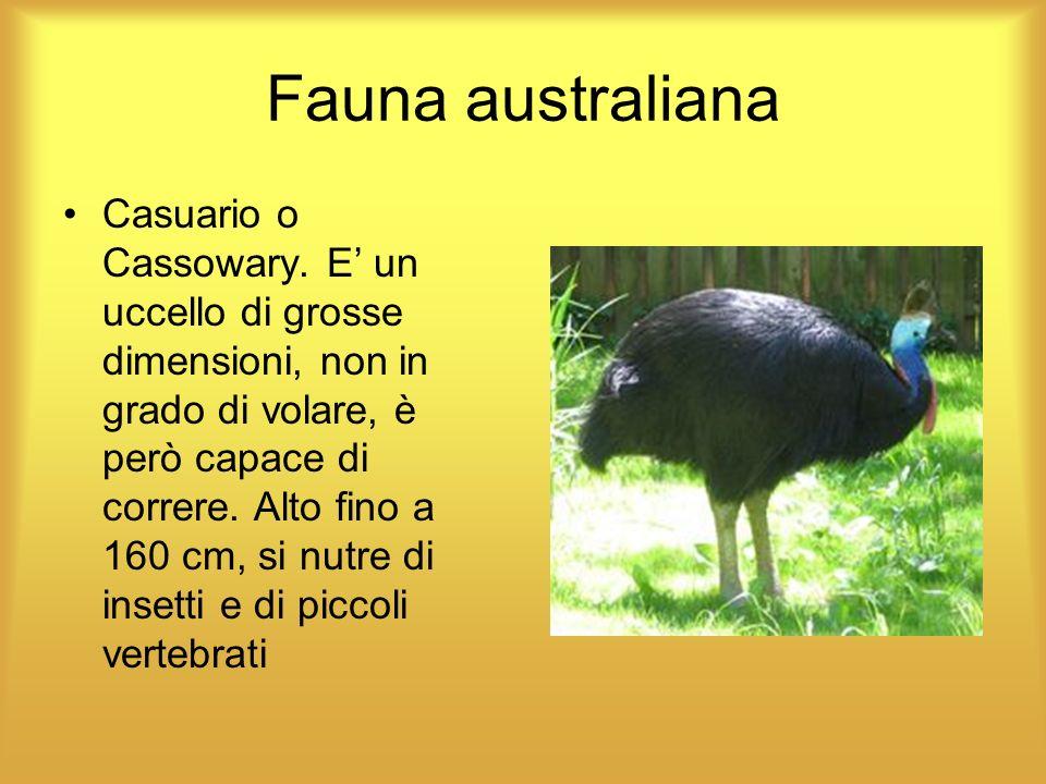 Fauna australiana Casuario o Cassowary. E un uccello di grosse dimensioni, non in grado di volare, è però capace di correre. Alto fino a 160 cm, si nu