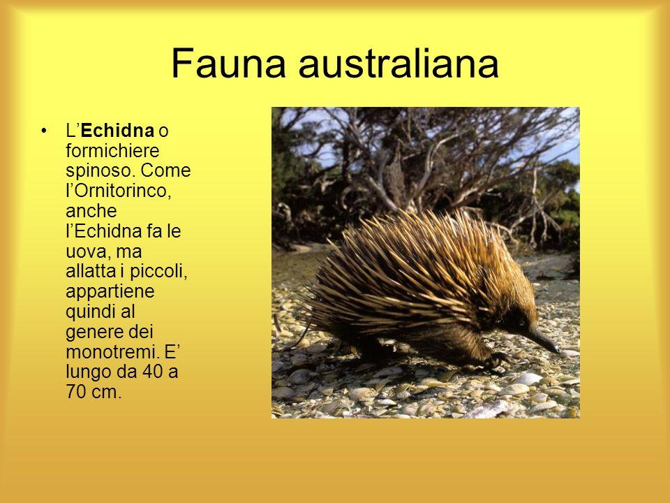 Fauna australiana LEchidna o formichiere spinoso. Come lOrnitorinco, anche lEchidna fa le uova, ma allatta i piccoli, appartiene quindi al genere dei