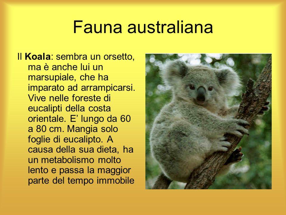 Fauna australiana Il Koala: sembra un orsetto, ma è anche lui un marsupiale, che ha imparato ad arrampicarsi. Vive nelle foreste di eucalipti della co