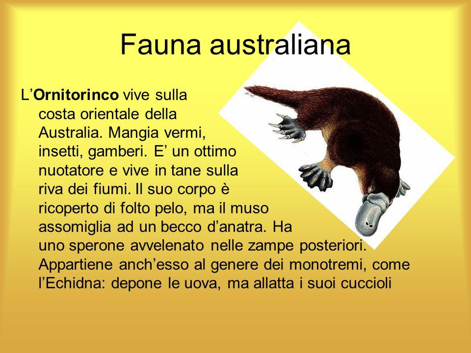 Fauna australiana LOrnitorinco vive sulla costa orientale della Australia. Mangia vermi, insetti, gamberi. E un ottimo nuotatore e vive in tane sulla