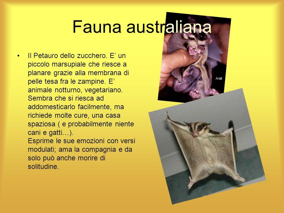 Fauna australiana Il Petauro dello zucchero. E un piccolo marsupiale che riesce a planare grazie alla membrana di pelle tesa fra le zampine. E animale