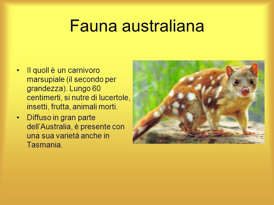Fauna australiana Il quoll è un carnivoro marsupiale (il secondo per grandezza). Lungo 60 centimerti, si nutre di lucertole, insetti, frutta, animali