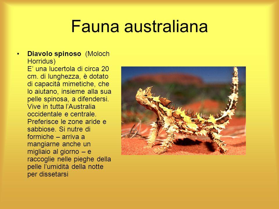 Fauna australiana Diavolo spinoso (Moloch Horridus) E una lucertola di circa 20 cm. di lunghezza, è dotato di capacità mimetiche, che lo aiutano, insi