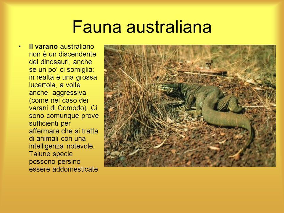 Fauna australiana Il varano australiano non è un discendente dei dinosauri, anche se un po ci somiglia: in realtà è una grossa lucertola, a volte anch