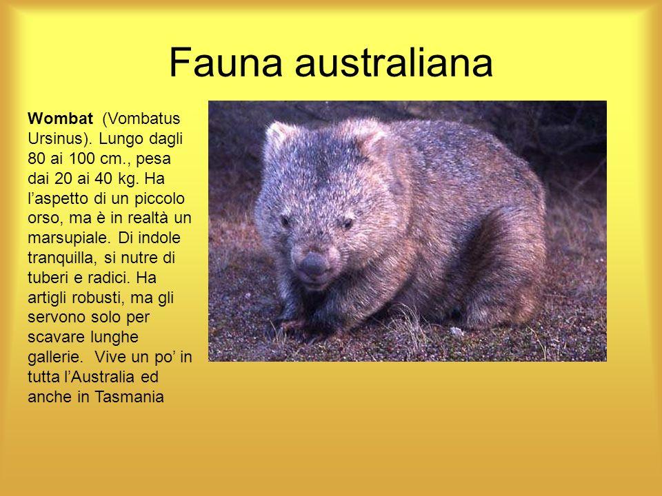 Fauna australiana Wombat (Vombatus Ursinus). Lungo dagli 80 ai 100 cm., pesa dai 20 ai 40 kg. Ha laspetto di un piccolo orso, ma è in realtà un marsup