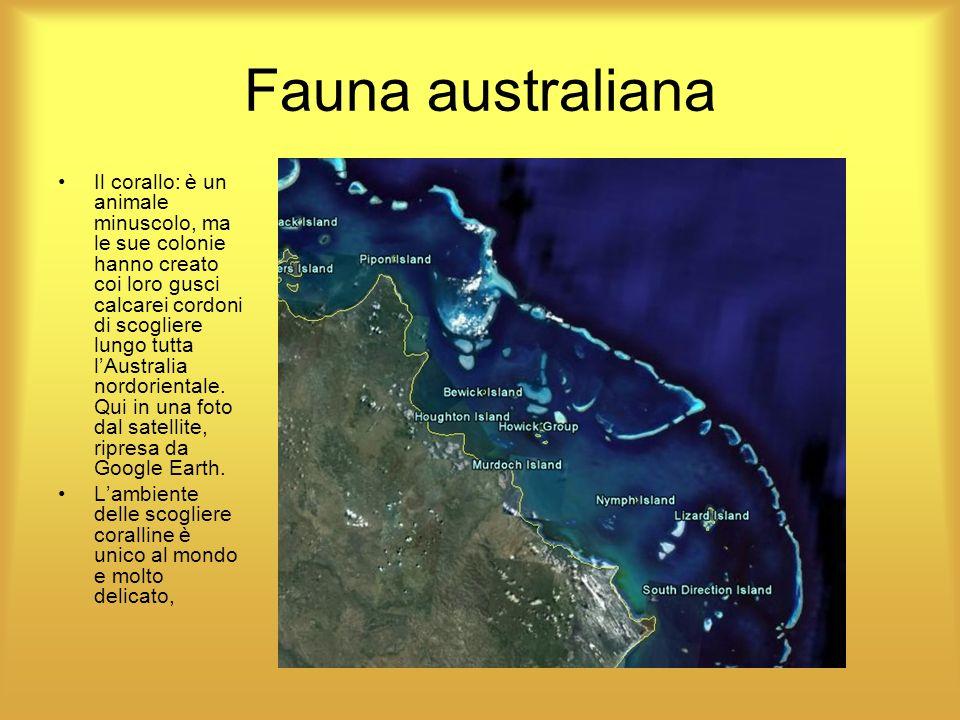Fauna australiana Il corallo: è un animale minuscolo, ma le sue colonie hanno creato coi loro gusci calcarei cordoni di scogliere lungo tutta lAustral