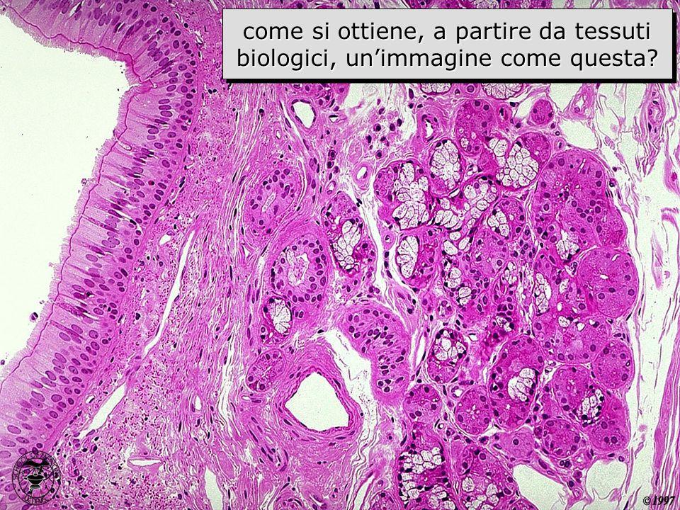 immagine istologica come si ottiene, a partire da tessuti biologici, unimmagine come questa?