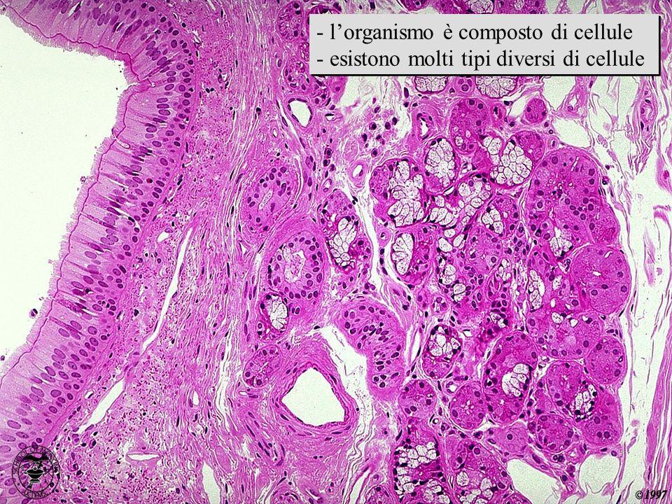 immagine istologica - lorganismo è composto di cellule - esistono molti tipi diversi di cellule - lorganismo è composto di cellule - esistono molti ti