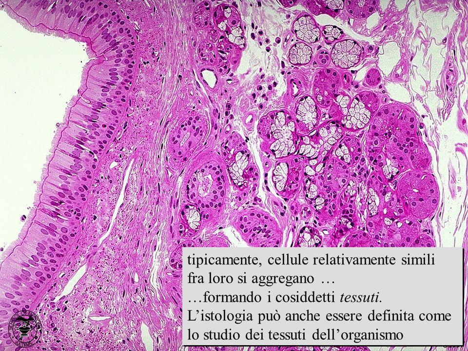 immagine istologica tipicamente, cellule relativamente simili fra loro si aggregano … …formando i cosiddetti tessuti. Listologia può anche essere defi