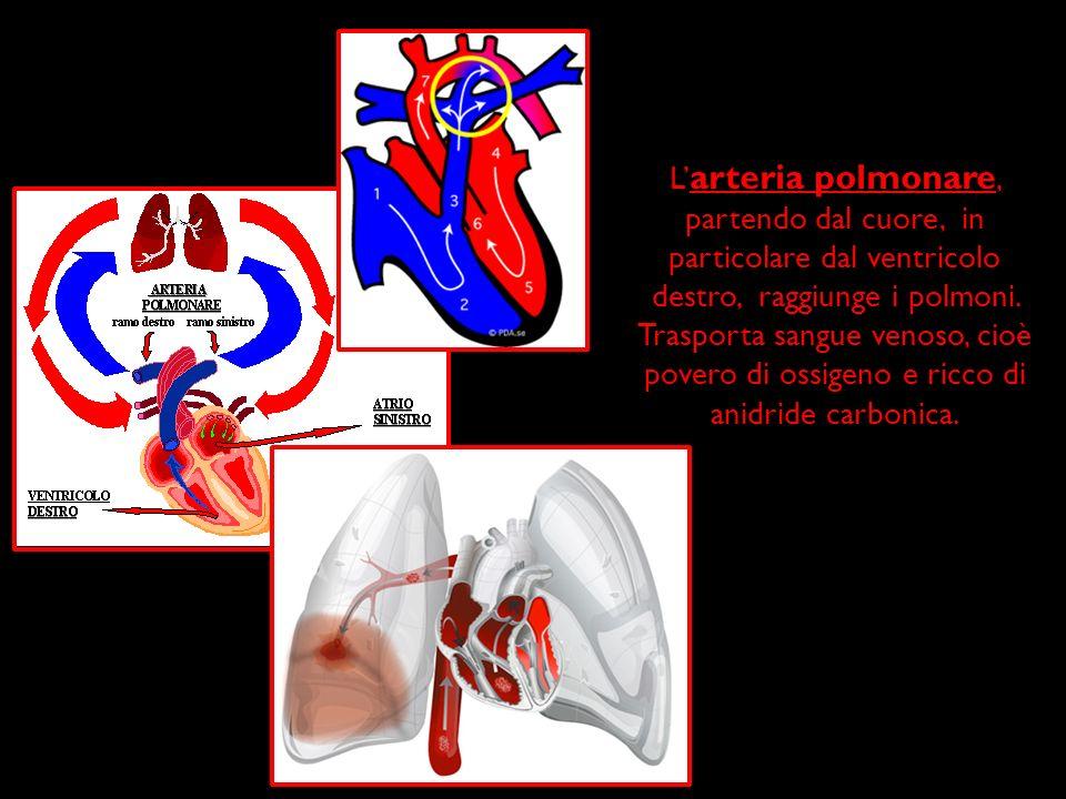 L arteria polmonare, partendo dal cuore, in particolare dal ventricolo destro, raggiunge i polmoni. Trasporta sangue venoso, cioè povero di ossigeno e